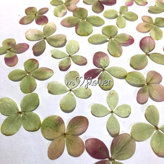 【天然無着色】ライムロゼ ピラミッド紫陽花*押し花素材(ドライフラワー)