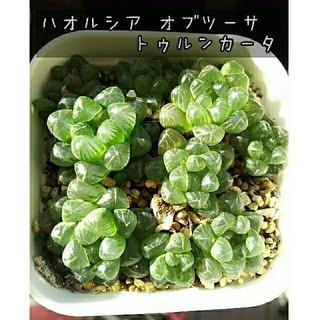 多肉植物 ハオルシア 子株 (その他)