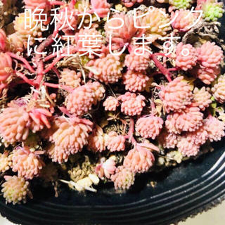 多肉植物   ヒスパニクム     セダム属   ピンク玉に紅葉(その他)