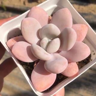 ピンクシフォン 多肉植物 6cm約(その他)