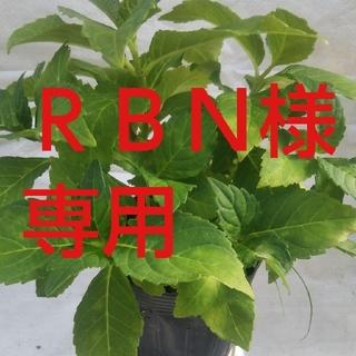 RBN様専用ジューンブライド10、5cmポット(その他)