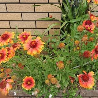 ガイデァルディア(大天人菊)の種 3花分多め おまけにオルレア、エキナセアの種付(その他)