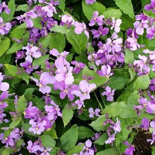 ムラサキハナナ(紫花菜)苗(プランター)