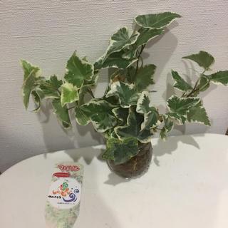 レア H 浦島農園オリジナル へデラ 1株 観葉植物 根付き(その他)