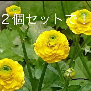 ★原種ラナンキュラス・ゴールドコインの苗 お任せで2個★(その他)
