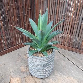 アガベ ブルーグロー agave blue grow 【美株】(その他)