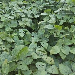 朝採り 無農薬 黒枝豆(野菜)