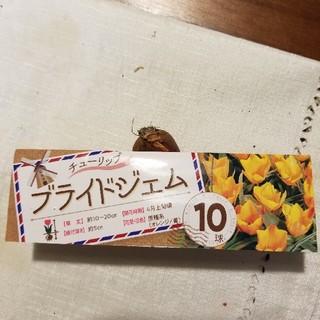 ☆☆臨時出品☆☆ チューリップ球根 ブライドジェム 5球(その他)