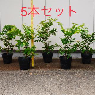 ジャボチカバ 大葉種(四季なり) ポット苗5号 55cm前後~ (5本セット)(フルーツ)