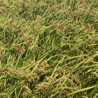 岐阜県産 新米 ハツシモ 30kg 玄米無農薬栽培 自家栽培の安全安心(米/穀物)