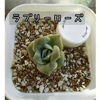 多肉植物 ラブリーローズ 小苗(その他)