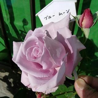 専用ページ🌹『ブルームーン』『マチルダ』『G・セレブレーション』🌹挿し木苗(その他)