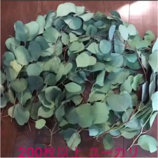 ユーカリの葉 ポポラス フレッシュ 200枚程度(ドライフラワー)
