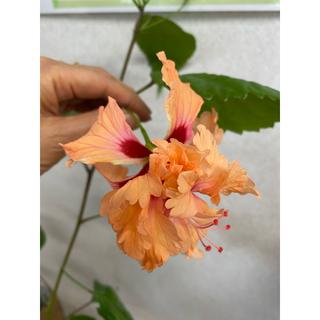 ハイビスカス苗、二重咲き、フラミンゴ、お値下げ(プランター)