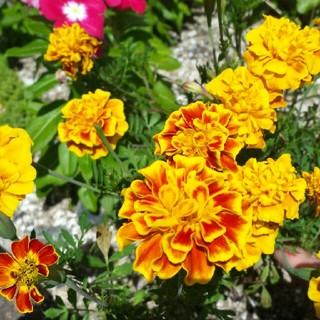 マリーゴールド 花 種 200粒(その他)