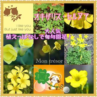 3株 黄花オキザリス・セルヌア【野放し・手間いらず】399(その他)