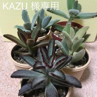 多肉植物  KAZU 様専用(その他)