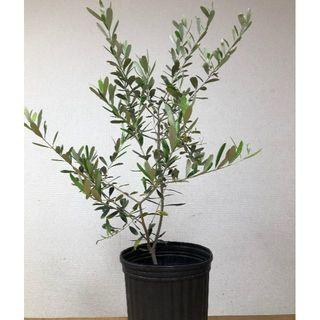 オリーブの木(フラントイオ)(プランター)
