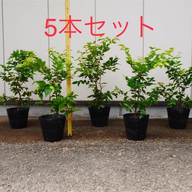 ジャボチカバ 大葉種(四季なり) ポット苗5号 50cm~ (5本セット) 食品/飲料/酒の食品(フルーツ)の商品写真