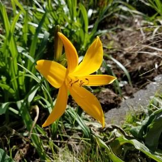☆☆臨時出品☆☆キスゲ(品種不明)オレンジの花が可愛い❗(その他)