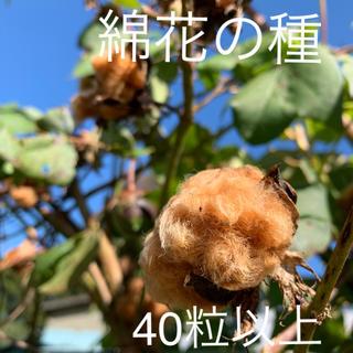 綿花 綿 種 ブラウン 40粒以上 花(その他)