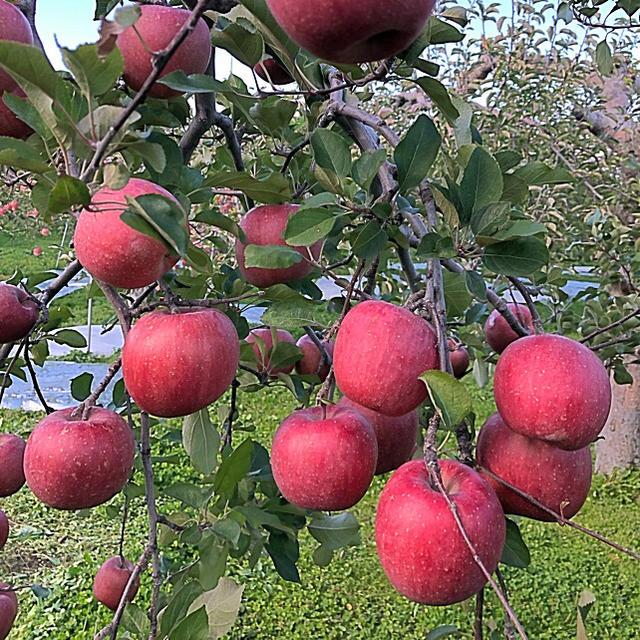 青森県産りんご 食品/飲料/酒の食品(フルーツ)の商品写真
