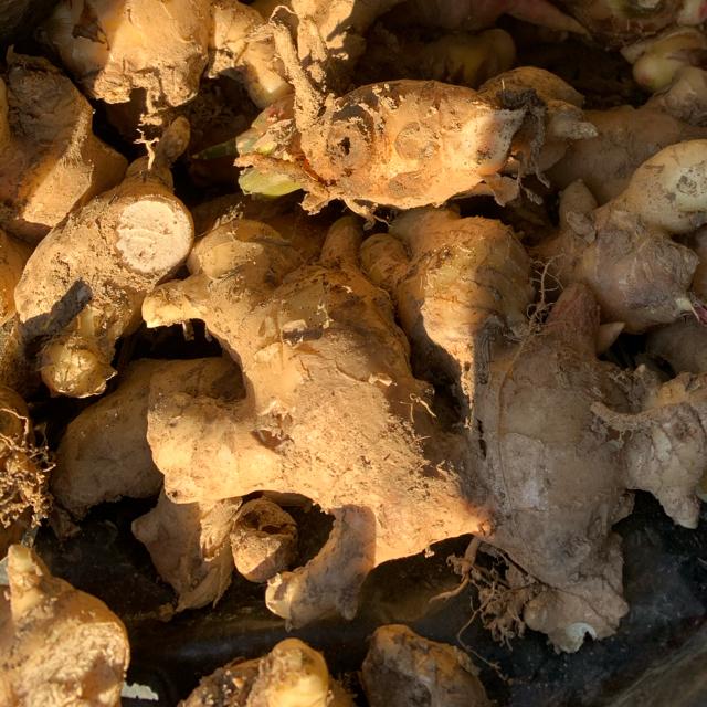 朝どれ土生姜次回16日収穫 食品/飲料/酒の食品(野菜)の商品写真