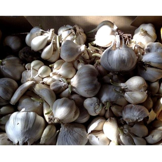 芽出し ミックス ニンニク自家採種  完全無農薬無化学肥料有機栽培 自然農法 食品/飲料/酒の食品(野菜)の商品写真