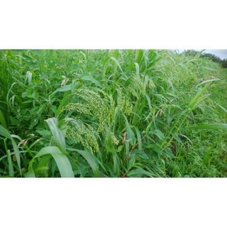 きび穂 200g(化学肥料・農薬不使用栽培) 北海道から送料無料(鳥)