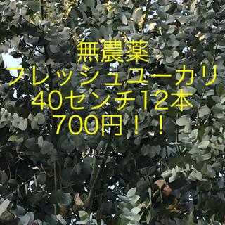急きょ 剪定大特価!無農薬フレッシュユーカリ  40センチ12本700えん!(その他)