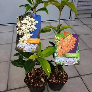 四季咲金木犀1本+銀木犀1本の計2本セット。キンモクセイ、ギンモクセイ、苗、苗木(その他)