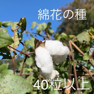 綿 綿花 ホワイト 種 40粒以上 花(その他)