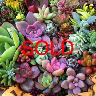 多肉植物★43種類カット苗詰め合わせています★(その他)