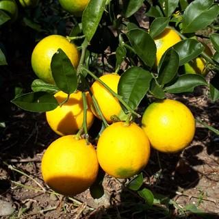 国産無農薬 マイヤーレモン 5kg 送料無料 サイズ混合(フルーツ)