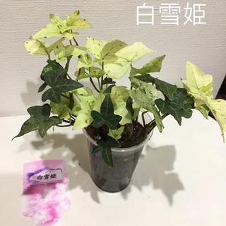 高価 レア へデラ 白雪姫 A 1株  観葉植物 ガーデニング(その他)