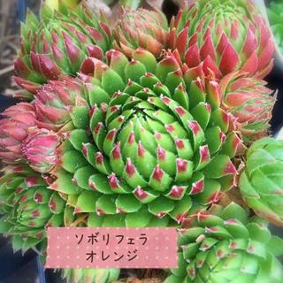 ジョビバルバ   ソボリフェラオレンジ1つセンペルビウム多肉植物(その他)