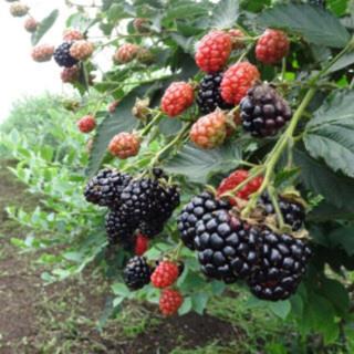 ブラックベリー  トゲなし  無農薬(フルーツ)