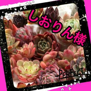 しおりん様専用♡多肉植物(その他)