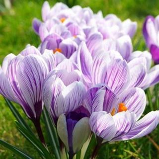 ♦球根 クロッカス ピックウィック 絞り咲き 紫×白 パープル3球 追加可(その他)