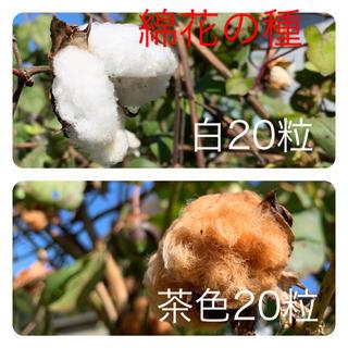 綿花 綿 種 白 茶色 各20粒以上  花(その他)
