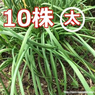 ニラ苗 3年以上 韮苗 無農薬 有機栽培10株 大葉にら苗 野菜苗☆追加可能♪(野菜)