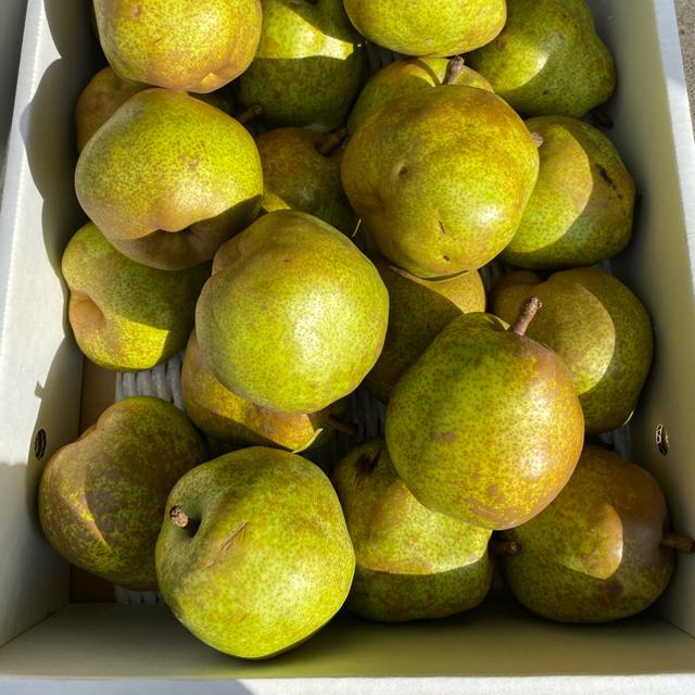 山形県産ラフランス 食品/飲料/酒の食品(フルーツ)の商品写真