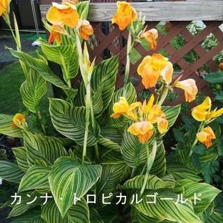 花の球根① カンナ・トロピカーナゴールド 芽付き球根 (その他)