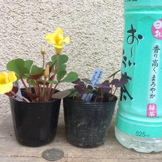 ポットごと発送 オキザリス 2種類(その他)