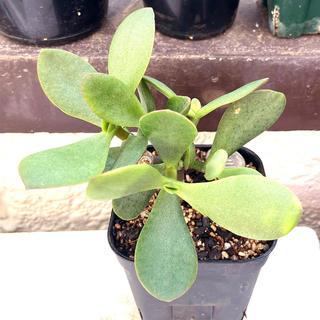 レア‼️多肉植物 クラッスラ ブルーバード3(その他)