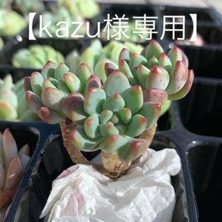 【kazu様専用】ブルーエルフ群生2個セット 多肉植物 韓国苗(その他)