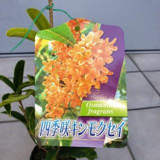 四季咲金木犀1本です。キンモクセイ、きんもくせい、苗、苗木(その他)
