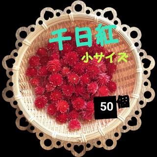 千日紅 小サイズ:50個 ストロベリーフィールズ 赤(ドライフラワー)