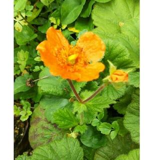オレンジ色の花の苗!(その他)