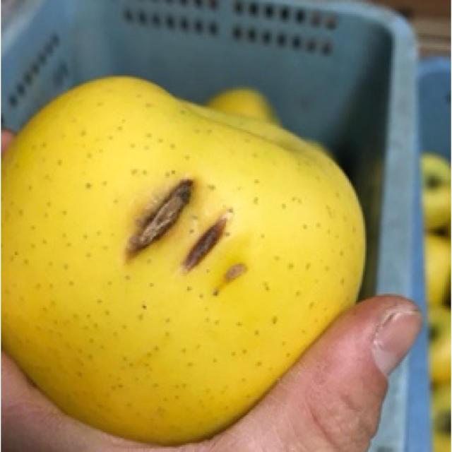 【送料込】訳あり葉とらずりんご シナノゴールド 約10kg 36〜39個入り 食品/飲料/酒の食品(フルーツ)の商品写真
